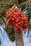 Κόκκινος Areca φοίνικας καρυδιών Στοκ φωτογραφία με δικαίωμα ελεύθερης χρήσης