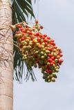 Κόκκινος Areca φοίνικας καρυδιών Στοκ Εικόνα