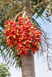 Κόκκινος Areca φοίνικας καρυδιών Στοκ εικόνα με δικαίωμα ελεύθερης χρήσης