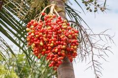 Κόκκινος Areca φοίνικας καρυδιών Στοκ Φωτογραφία