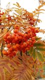 Κόκκινος ashberry στα φύλλα σε ένα φθινόπωρο δέντρων Στοκ Εικόνες