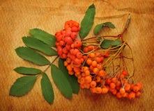 Κόκκινος ashberry Στοκ φωτογραφίες με δικαίωμα ελεύθερης χρήσης