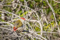 Κόκκινος-browed Finch, ιστορικό πάρκο δασωδών περιοχών, Βικτώρια, Αυστραλία, τον Ιούνιο του 2019 στοκ φωτογραφία