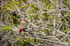 Κόκκινος-browed Finch, ιστορικό πάρκο δασωδών περιοχών, Βικτώρια, Αυστραλία, τον Ιούνιο του 2019 στοκ φωτογραφία με δικαίωμα ελεύθερης χρήσης