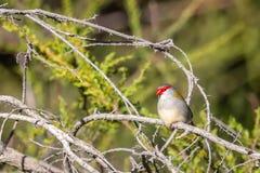 Κόκκινος-browed Finch, ιστορικό πάρκο δασωδών περιοχών, Βικτώρια, Αυστραλία, τον Ιούνιο του 2019 στοκ φωτογραφίες με δικαίωμα ελεύθερης χρήσης