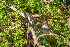 Κόκκινος-browed Finch, ιστορικό πάρκο δασωδών περιοχών, Βικτώρια, Αυστραλία, τον Ιούνιο του 2019 στοκ εικόνες