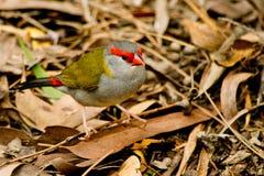 Κόκκινος-browed finch στις άγρια περιοχές στοκ φωτογραφία