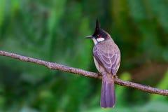 Κόκκινος-bulbul ή jocosus Pycnonotus σκαρφαλώνοντας στα WI κλάδων Στοκ Εικόνα