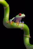 Κόκκινος-Eyed βάτραχος δέντρων του Αμαζονίου (Agalychnis Callidryas) στοκ εικόνες