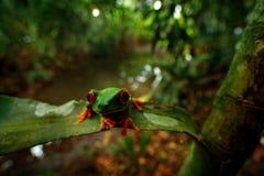 Κόκκινος-eyed βάτραχος δέντρων, βιότοπος φύσης, ζώο με τα μεγάλα κόκκινα μάτια, στο δασικό ποταμό Βάτραχος από τη Κόστα Ρίκα, ευρ Στοκ Εικόνες