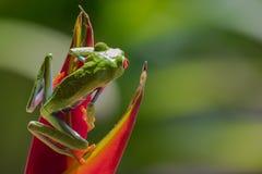 Κόκκινος-eyed βάτραχος δέντρων στοκ φωτογραφία με δικαίωμα ελεύθερης χρήσης