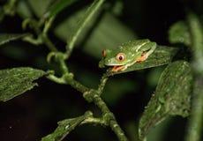 Κόκκινος eyed βάτραχος στη Κόστα Ρίκα Στοκ φωτογραφίες με δικαίωμα ελεύθερης χρήσης