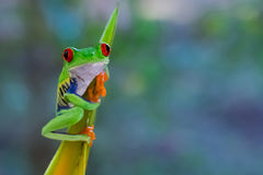 Κόκκινος Eyed βάτραχος φύλλων στη πλευρά Ri Στοκ Εικόνα