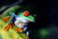 Κόκκινος Eyed βάτραχος δέντρων Στοκ Εικόνα