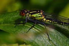 Κόκκινος-eyed Damselfly, θηλυκό najas Erythromma στοκ φωτογραφία με δικαίωμα ελεύθερης χρήσης