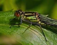 Κόκκινος-eyed Damselfly, θηλυκό najas Erythromma στοκ εικόνες με δικαίωμα ελεύθερης χρήσης