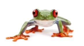 Κόκκινος-eyed Treefrog, callidryas Agalychnis Στοκ Εικόνες