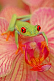 Κόκκινος-eyed treefrog (callidryyas Agalychnis) Στοκ εικόνα με δικαίωμα ελεύθερης χρήσης