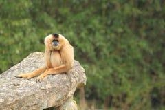 Κόκκινος-gibbon Στοκ φωτογραφίες με δικαίωμα ελεύθερης χρήσης