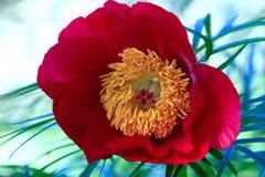 Κόκκινος peony οφθαλμός Στοκ Φωτογραφία