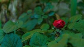 Κόκκινος peony στενός επάνω Στοκ Εικόνα