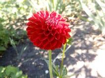 Κόκκινος peony Στοκ εικόνα με δικαίωμα ελεύθερης χρήσης