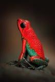 Κόκκινος Poisson βάτραχος βελών δηλητήριων βατράχων κοκκώδης, granuliferus Dendrobates, στο βιότοπο φύσης, Κόστα Ρίκα Όμορφο εξωτ Στοκ εικόνες με δικαίωμα ελεύθερης χρήσης
