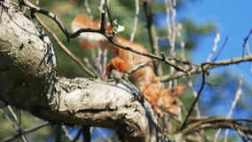 Κόκκινο άγριο άλμα σκιούρων από τον κλάδο δέντρων στον κήπο ή το δάσος φιλμ μικρού μήκους