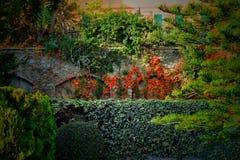 Κόκκινο άγριο σταφύλι στο πάρκο στο φθινόπωρο Στοκ Εικόνα