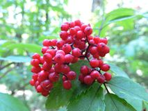Κόκκινο άγριο elderberry στοκ φωτογραφία