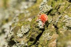 Κόκκινο άκαρι βελούδου στο δέντρο στοκ φωτογραφία
