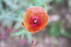 Κόκκινο άνθος λουλουδιών παπαρουνών στοκ φωτογραφία