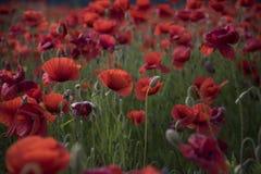 Κόκκινο άνθος παπαρουνών λουλουδιών στον άγριο τομέα στοκ εικόνα με δικαίωμα ελεύθερης χρήσης