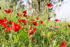 Κόκκινο άνθος παπαρουνών Στοκ φωτογραφίες με δικαίωμα ελεύθερης χρήσης