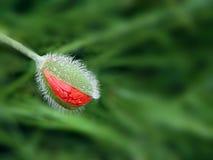 Κόκκινο άνθος παπαρουνών Στοκ εικόνα με δικαίωμα ελεύθερης χρήσης