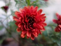 Κόκκινο άνθος στο θολωμένο υπόβαθρο Στοκ Εικόνες