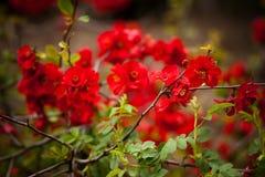 Κόκκινο άνθος Στοκ Φωτογραφία