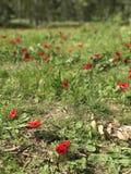 Κόκκινο άνθος Anemones Στοκ Εικόνα