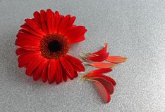 Κόκκινο άνθος gerbera με τα πέταλα Στοκ Εικόνα