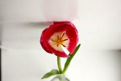 Κόκκινο άνοιγμα οφθαλμών λουλουδιών Ένα δώρο σε μια γυναίκα Φωτογραφία για το σχέδιό σας Στοκ Φωτογραφίες