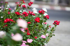 Κόκκινο άσπρο ροζ λίγο λουλούδι οδών με το οδικό υπόβαθρο Στοκ φωτογραφία με δικαίωμα ελεύθερης χρήσης