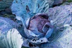 Κόκκινο λάχανο στη διανομή Στοκ Φωτογραφία