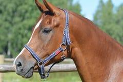 Κόκκινο άλογο σε ένα λουρί Στοκ φωτογραφίες με δικαίωμα ελεύθερης χρήσης