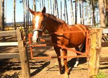 Κόκκινο άλογο στην πλήρη φωτογραφία σωμάτων μαντρών Στοκ εικόνα με δικαίωμα ελεύθερης χρήσης