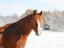 Κόκκινο άλογο στο άσπρο χιόνι Στοκ Εικόνες