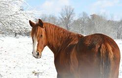 Κόκκινο άλογο στο χιόνι Στοκ Εικόνα