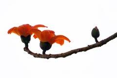Κόκκινο δέντρο βαμβακιού μεταξιού - Bombax Ceiba Στοκ Φωτογραφίες