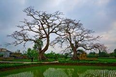 Κόκκινο δέντρο βαμβακιού μεταξιού - Bombax Ceiba Στοκ εικόνα με δικαίωμα ελεύθερης χρήσης