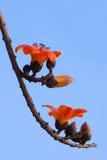 Κόκκινο δέντρο βαμβακιού μεταξιού - Bombax Ceiba Στοκ Εικόνες