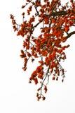 Κόκκινο δέντρο βαμβακιού μεταξιού - Bombax Ceiba Στοκ φωτογραφίες με δικαίωμα ελεύθερης χρήσης